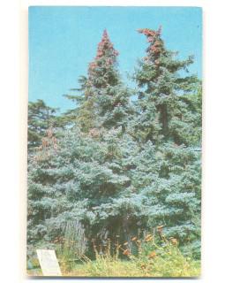 Крым. Никитский ботанический сад. Пихта испанская