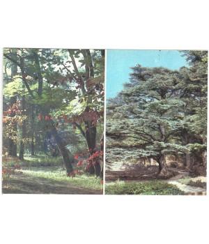 Уголок Верхнего парка. Роща ливанских кедров в Нижнем парке